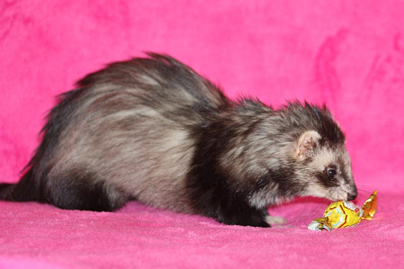 Favourite Ferret La Belle