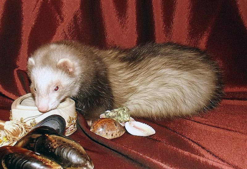 РХ White Night Ferrets Уника