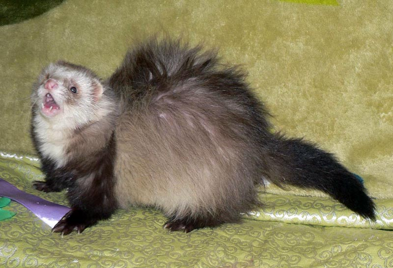 Fuzzball van Dancing with Ferrets